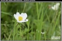 18.04.01.050.zawilec wielkokwiatowy