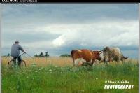 21_krowie_bagno
