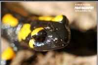 17.03.06.001.salamandra