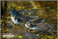 17.03.07.005.Żaba moczarowa